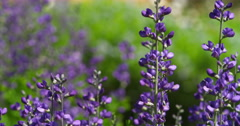 Close-up purple lupine in bloom in the grounds of Arlington House, Arlington Stock Footage