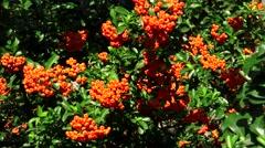 Sea buckthorn. Bush with orange berries. 4K. Stock Footage