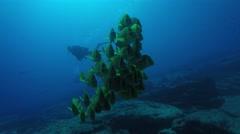 Panamic porkfish (Anisotremus taeniatus) Stock Footage