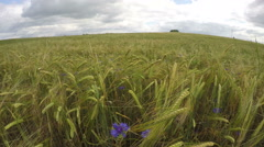 Cloudscape over green ripening barley field with flowering cornflowers Stock Footage