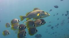 Oriental sweetlips (Plectorhinchus vittatus) with panda butterflyfish Stock Footage