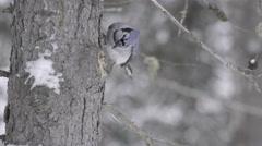 Blue jay in winter Stock Footage