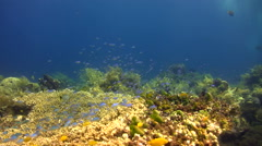 Blue-green damselfish (Chromis viridis) hiding in table coral Stock Footage