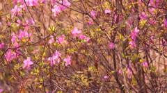 Pink flowers the Labrador tea Stock Footage