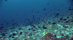 Redtooth triggerfish (Odonus niger) in school over reef Stock Footage