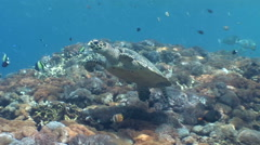 Hawksbill turtle (Eretmochelys imbricata) swimming over soft coral - stock footage