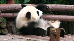 Very little baby giant panda bear tossing and turning on his back. Stock Footage