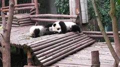 Very small young giant panda bear sleeping and turning over. Stock Footage
