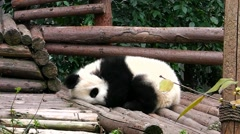 Very little baby giant panda bear sleeps. Stock Footage