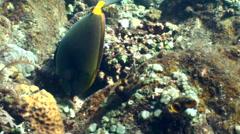 Orange-spine unicornfish (Naso lituratus) Stock Footage
