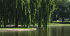 Weeping willow tree at edge of pond in Constitution Gardens, Washington DC. Shot - stock footage