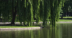 Ducks under a willow at the edge of the Constitution Gardens pond, Washington Stock Footage