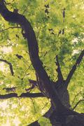 Ancient oaks leafy treetop - stock photo