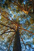 Trunks of pine trees Stock Photos