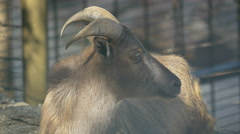 View of a goat sitting and chewing at Schonbrunn Zoo Stock Footage