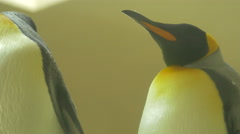 A penguin scratching and another one standing at Schonbrunn Zoo Stock Footage