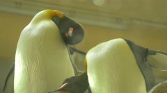 View of two penguins scratching at Schonbrunn Zoo Stock Footage