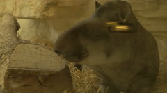 View of a tapir falling asleep and sniffing at Schonbrunn Zoo - stock footage