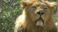 Stock Video Footage of Lazy lion standing near a tree at Schonbrunn Zoo