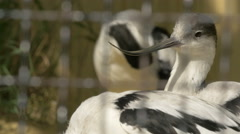Beautiful birds with curved beaks cleaning their feathers at Schonbrunn Zoo - stock footage