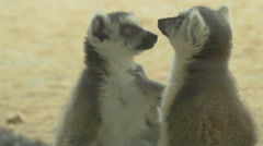 View of a couple of lemurs at Schonbrunn Zoo Stock Footage
