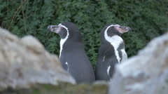 Two penguins sitting back to back near rocks at Schonbrunn Zoo Stock Footage