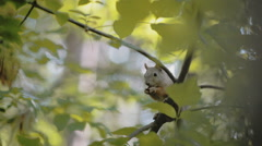 Squirrel eats a nut Stock Footage