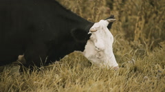cow nibbling the grass close-up - stock footage