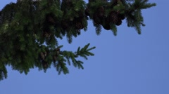 Fir tree branches with lot of cones move under blue sky background. 4K Stock Footage