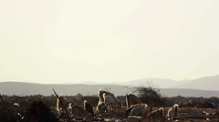 Flock of Sheep and Goats to Graze on a Background of Mountains in the Desert Stock Footage