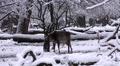 4k Fallow Deer closeup dreamy snow winter forest landscape 4k or 4k+ Resolution