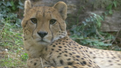 View of a cheetah sitting, sniffing and getting up at the zoo in Vienna Stock Footage