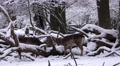 4k Fallow Deers fight snow winter forest landscape 4k or 4k+ Resolution