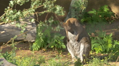 View of a baby kangaroo scratching at Schonbrunn Zoo Stock Footage