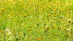Field of wild yellow dandelion flowers swaying in the wind, 4K 24p - stock footage