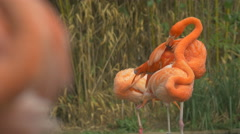 View of flamingos cleaning their feathers and sleeping at Schonbrunn Zoo Stock Footage