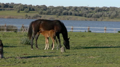foal with its mother - stock footage