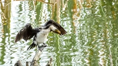 Beautiful kawaupaka cormorant demonstrating bird behavior drying its black Stock Footage