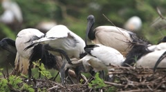 Sacred Ibis Stock Footage