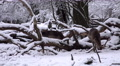 4k Fallow Deer eating snow winter forest landscape Footage