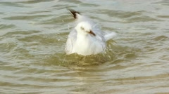 Closeup of silver seagull paddling in water and flapping wings before walking to Stock Footage