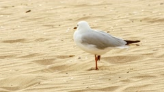 Australian common silver seagull standing on one foot upon sand, 4K 30p Stock Footage