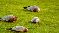 Group of rose-breasted cockatoos searching for food in grassy lawn, 4K 30p Stock Footage