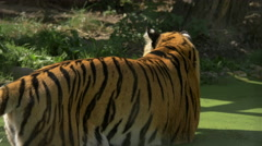 View of a tiger standing in a lake with spirogyra at Schonbrunn Zoo Stock Footage