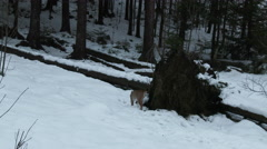 Eurasian Lynx ( Lynx lynx) in winter forest Stock Footage