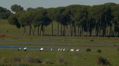 white storks - stock footage