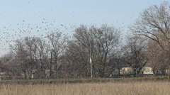 A huge flock of birds by a road - before they fly to the south Stock Footage