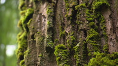 Green moss on bark of a giant tree Stock Footage