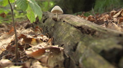 iny mushroom on trunk lying on the soil of a primeval forest total view - stock footage