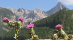 Thistle blossoms with bee with mountain massive in the background - stock footage